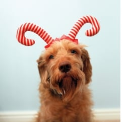 Cupid & Comet Festive Christmas Candy Cane Dog Antlers